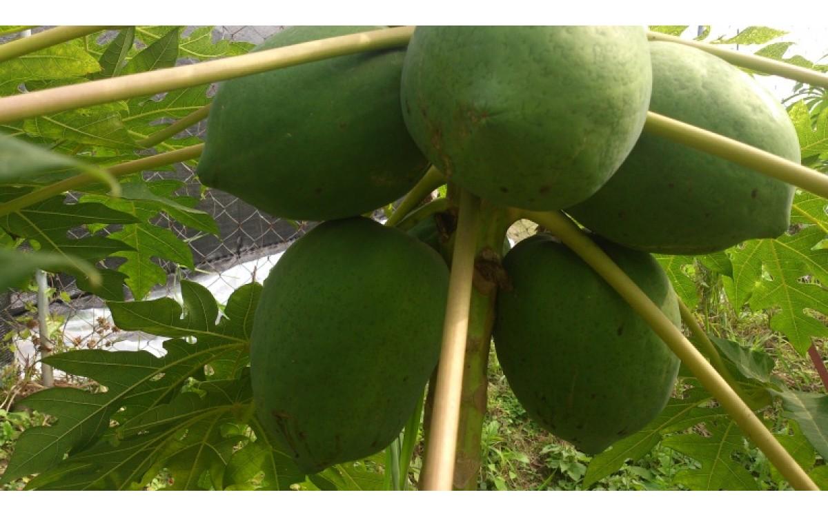 木瓜「紅妃」之栽培管理