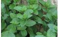 香草種植 (1)